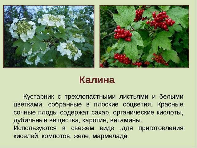Калина Кустарник с трехлопастными листьями и белыми цветками, собранные в пл...