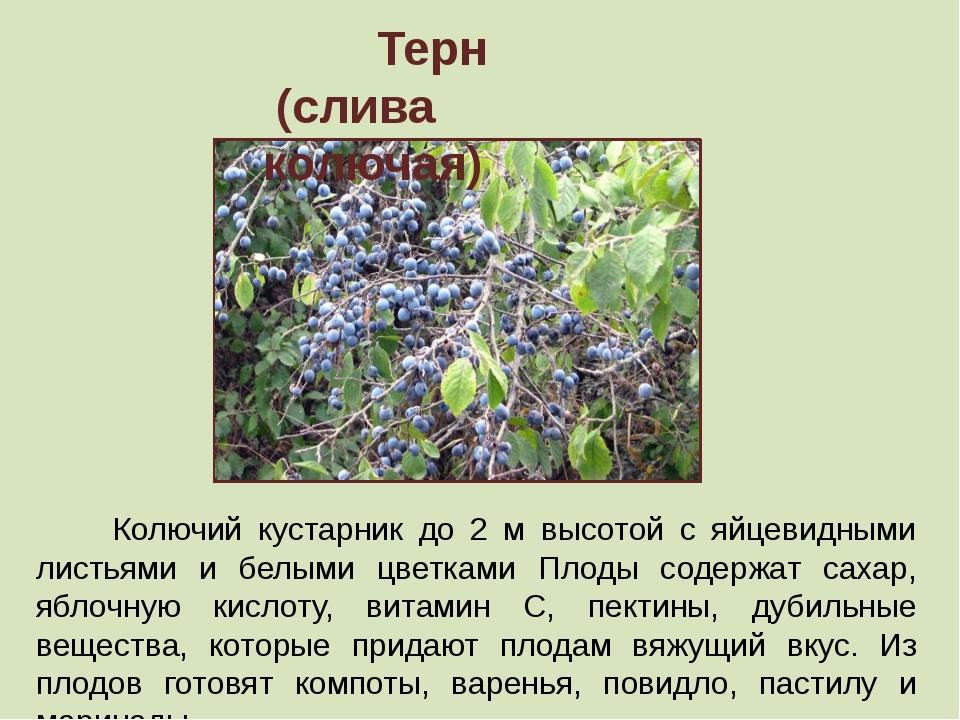 Терн (слива колючая) Колючий кустарник до 2 м высотой с яйцевидными листьями...