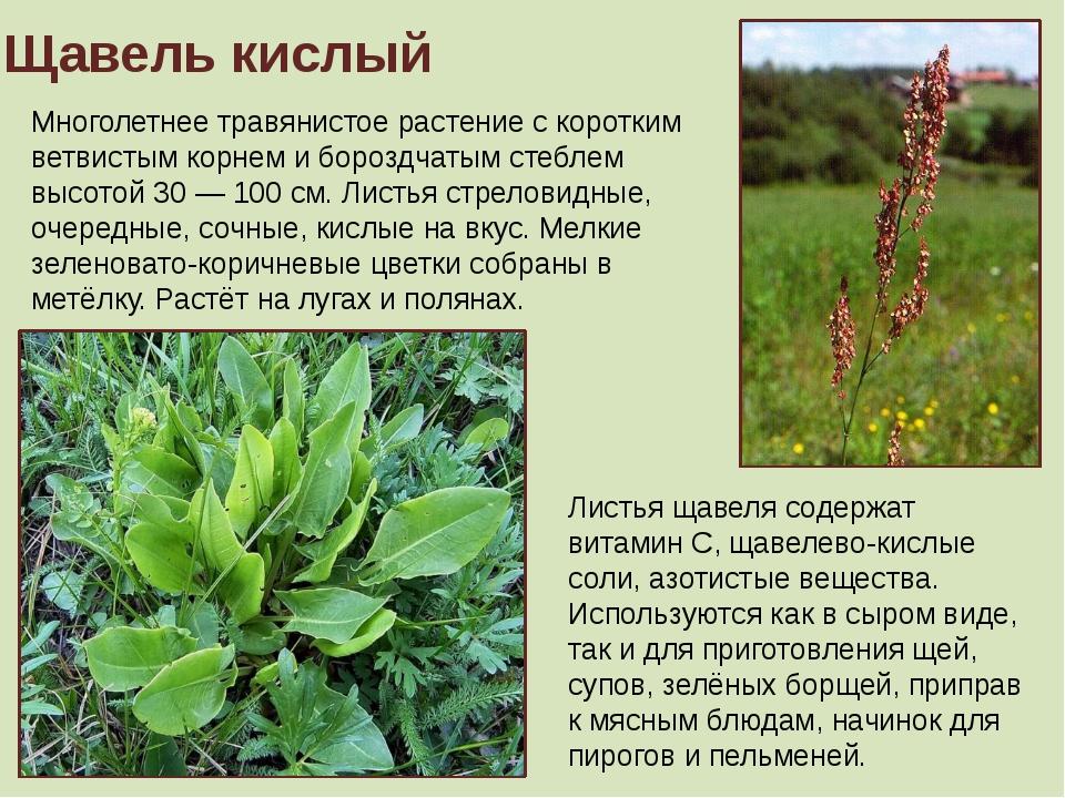Щавель кислый Многолетнее травянистое растение с коротким ветвистым корнем и...