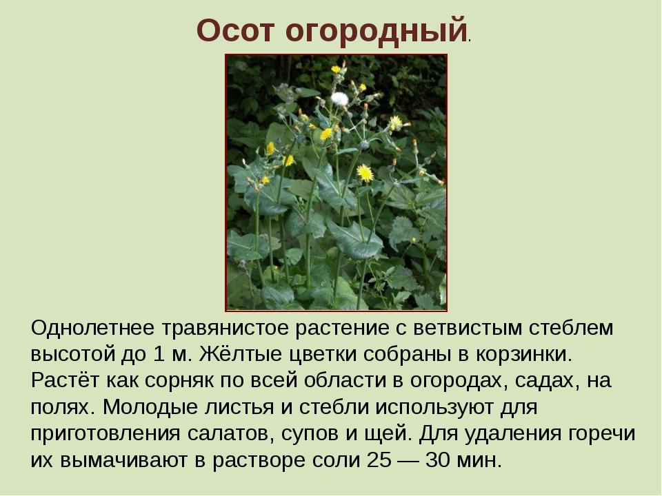 Осот огородный. Однолетнее травянистое растение с ветвистым стеблем высотой...