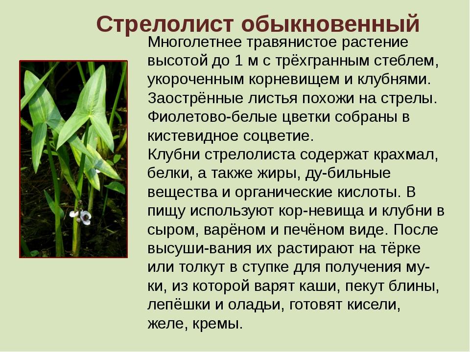 Стрелолист обыкновенный Многолетнее травянистое растение высотой до 1 м с трё...