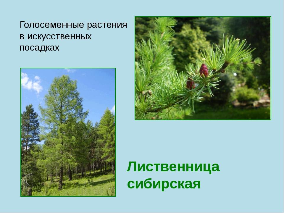 Лиственница сибирская Голосеменные растения в искусственных посадках
