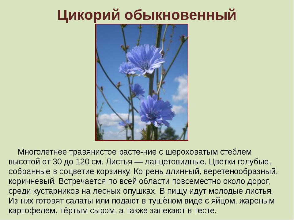 Цикорий обыкновенный Многолетнее травянистое растение с шероховатым стеблем...