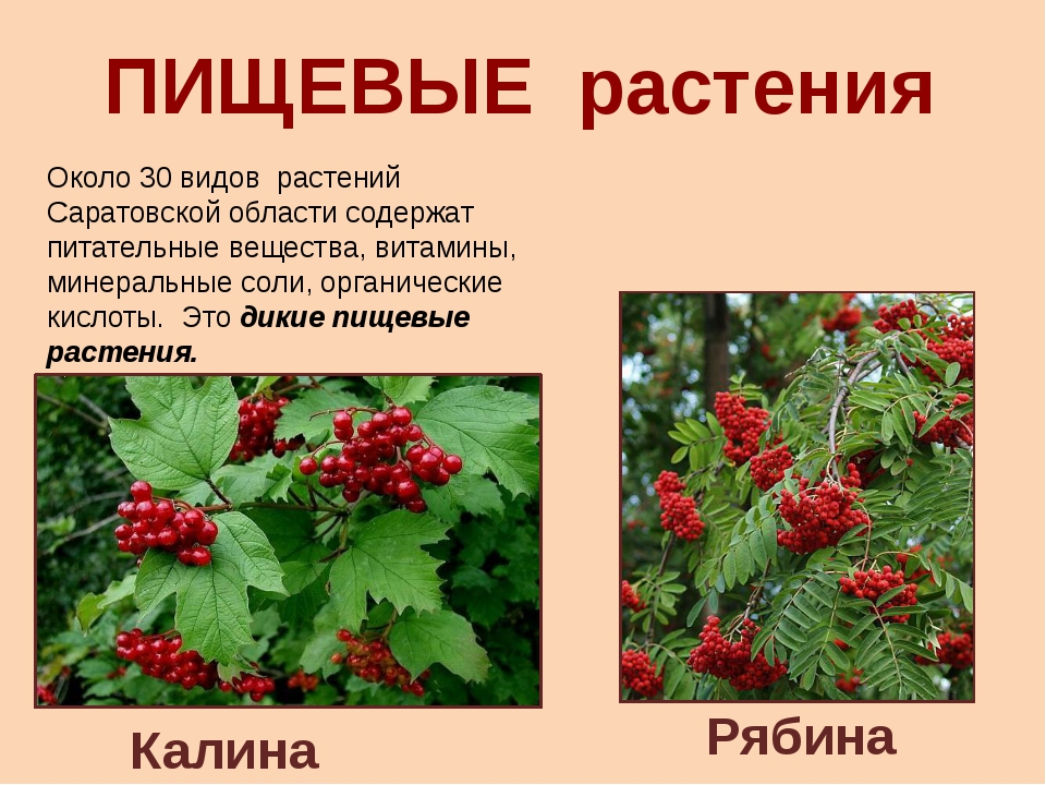 ПИЩЕВЫЕ растения Калина Рябина Около 30 видов растений Саратовской области со...