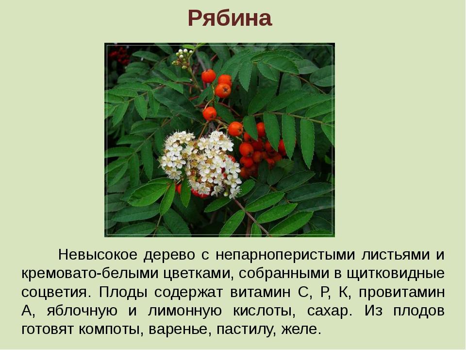 Рябина Невысокое дерево с непарноперистыми листьями и кремовато-белыми цветка...