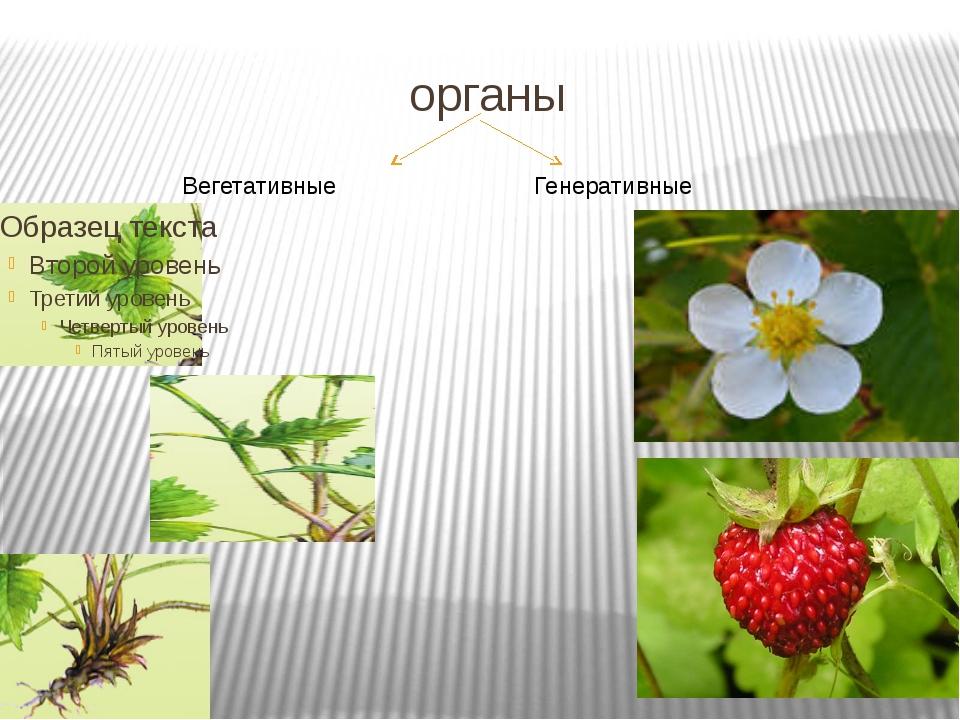 органы Вегетативные Генеративные