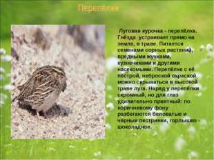 Луговая курочка - перепёлка. Гнёзда устраивает прямо на земле, в траве. Пита