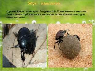 Один из жуков - санитаров. Его длина 16 - 27 мм. питается навозом. Роет в зем