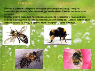 Пчёлы и шмели собирают нектар и цветочную пыльцу, попутно опыляют растения, о
