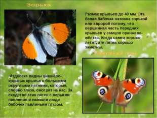 Размах крыльев до 40 мм. Эта белая бабочка названа зорькой или авророй потому