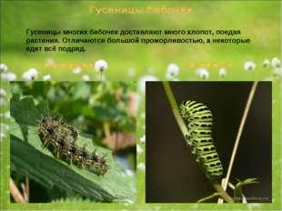 Гусеницы многих бабочек доставляют много хлопот, поедая растения. Отличаются