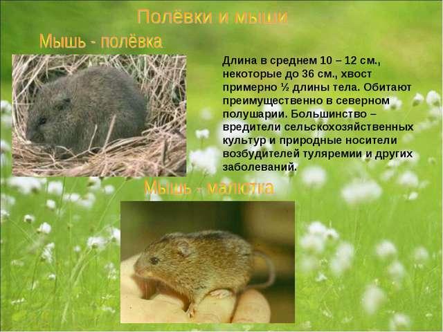 Длина в среднем 10 – 12 см., некоторые до 36 см., хвост примерно ½ длины тела...