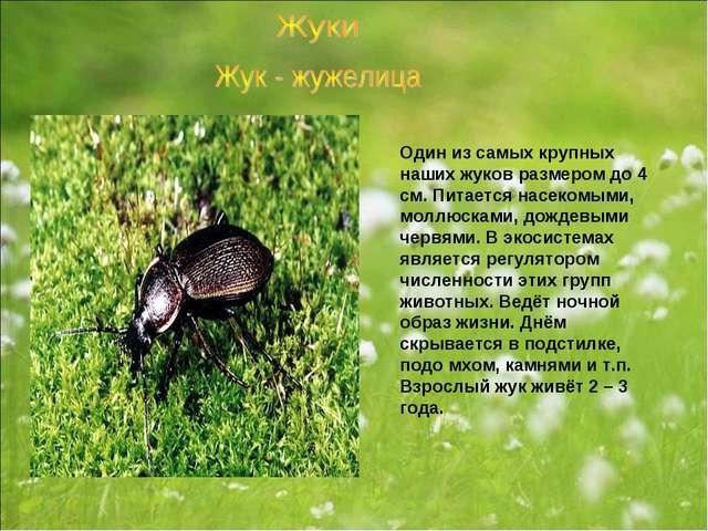 Один из самых крупных наших жуков размером до 4 см. Питается насекомыми, молл...