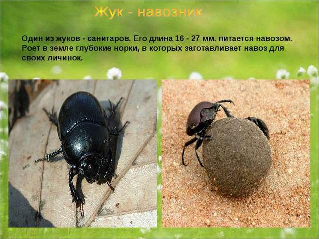 Один из жуков - санитаров. Его длина 16 - 27 мм. питается навозом. Роет в зем...
