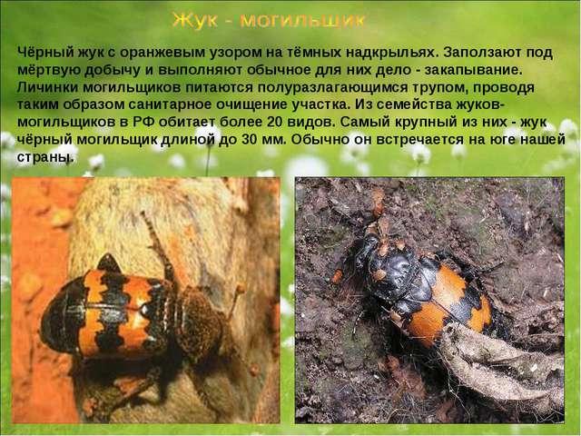 Чёрный жук с оранжевым узором на тёмных надкрыльях. Заползают под мёртвую доб...