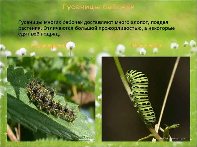 Гусеницы многих бабочек доставляют много хлопот, поедая растения. Отличаются...