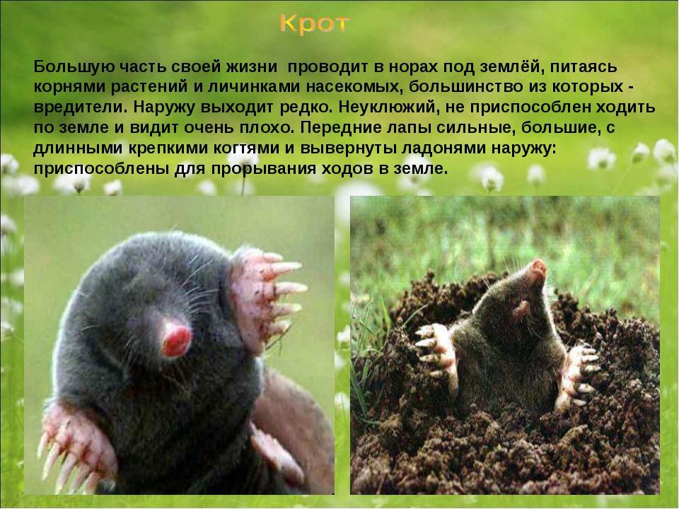 Большую часть своей жизни проводит в норах под землёй, питаясь корнями растен...