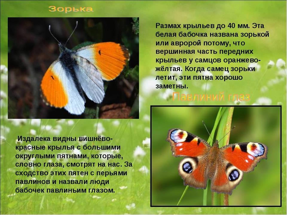 Размах крыльев до 40 мм. Эта белая бабочка названа зорькой или авророй потому...