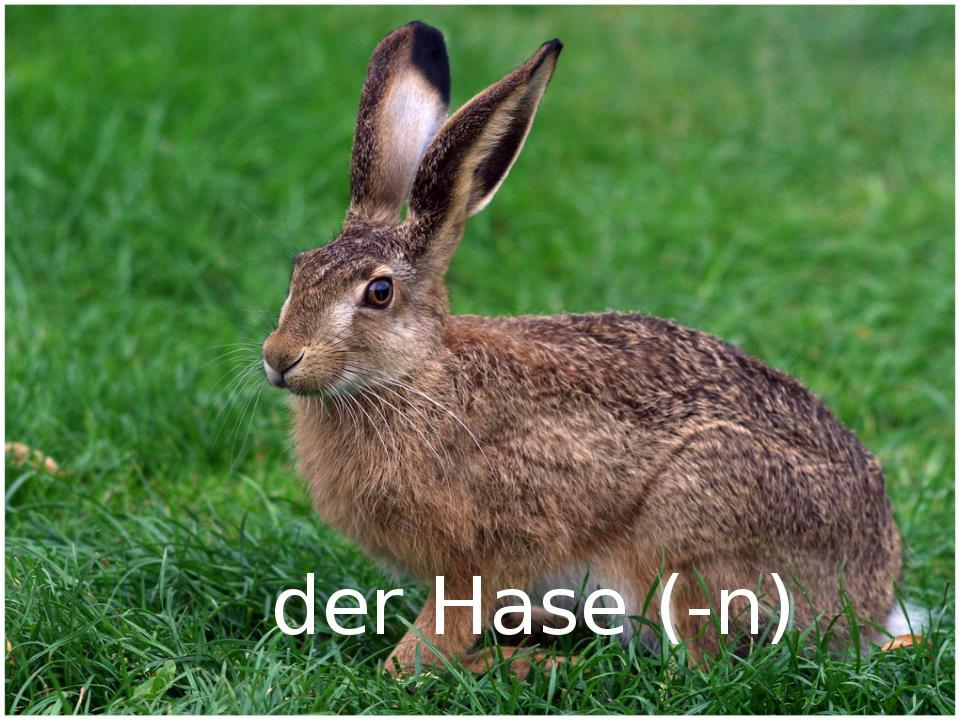 der Hase (-n)