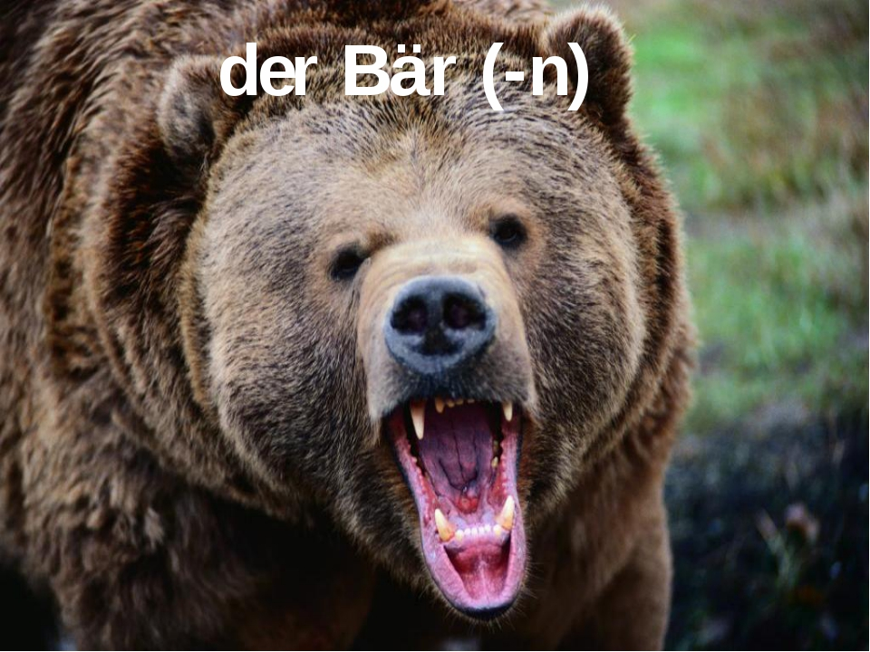 der Bär (-n)
