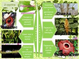 2 группа Растения – паразиты и хищники Омела Раффлезия Венерина мухоловка Рос