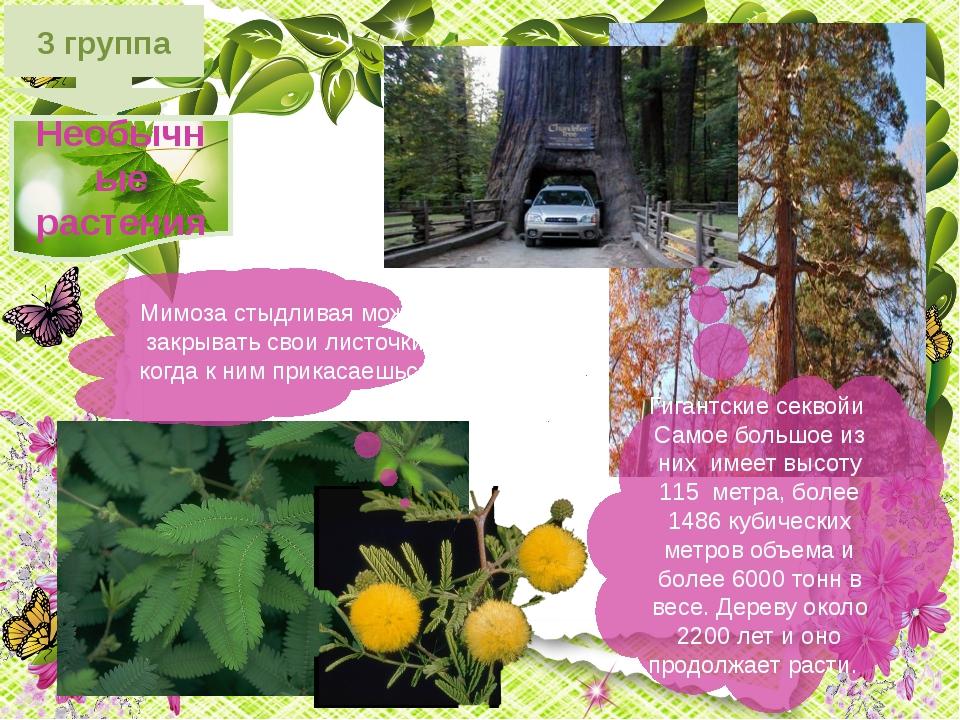 3 группа Необычные растения Мимоза стыдливая может закрывать свои листочки ко...