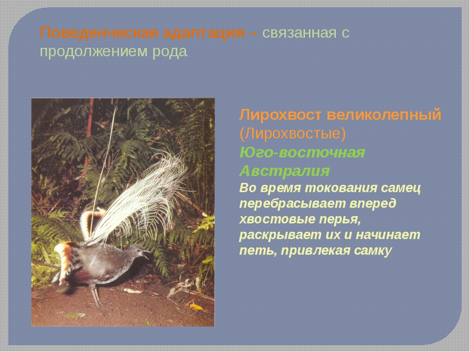 Поведенческая адаптация – связанная с продолжением рода Лирохвост великолепны...