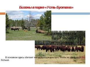 Бизоны в парке «Усть-Буотама»