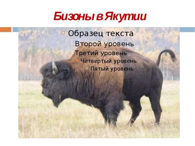 Бизоны в Якутии