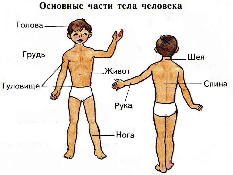 Части тела человека картинки с надписями для детей, открытки кошки открытки