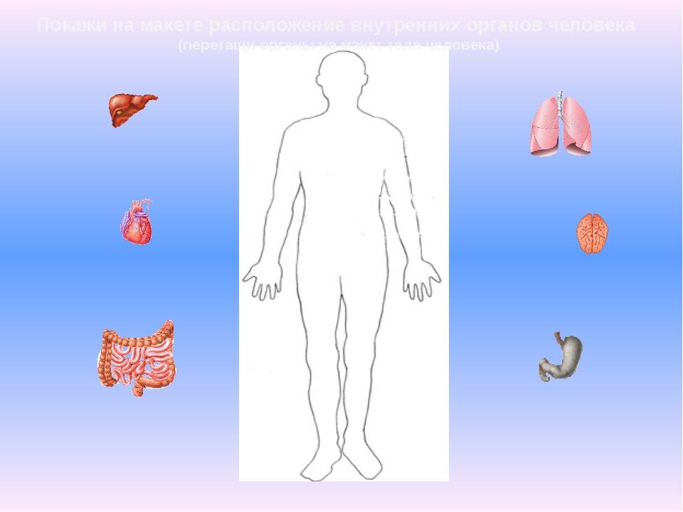 Внутренние органы человека для детей в картинках распечатать