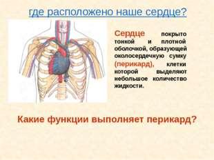Сердце покрыто тонкой и плотной оболочкой, образующей околосердечную сумку (п
