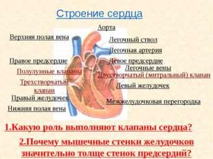 Сердечный цикл Фазы сердечного цикла. Длительность фазы ( сек.) Состояние кл
