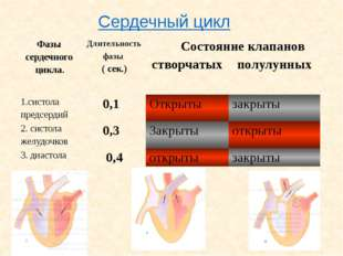 В чем секрет неутомимости сердца? Автоматизм сердца – Его способность ритмиче