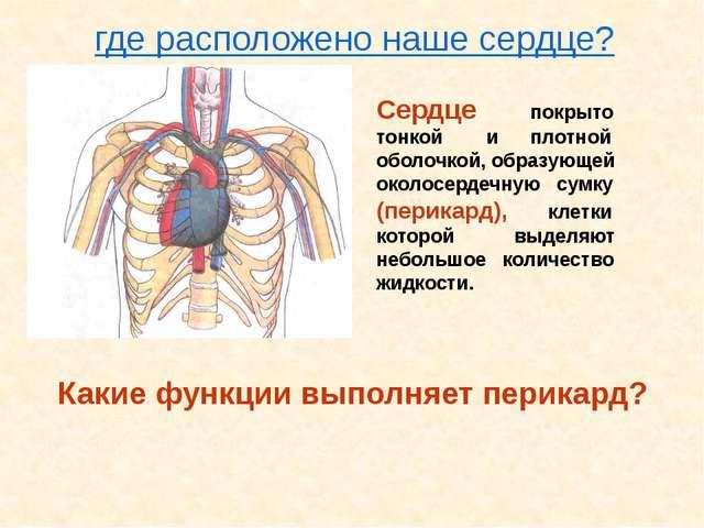 Сердце покрыто тонкой и плотной оболочкой, образующей околосердечную сумку (п...