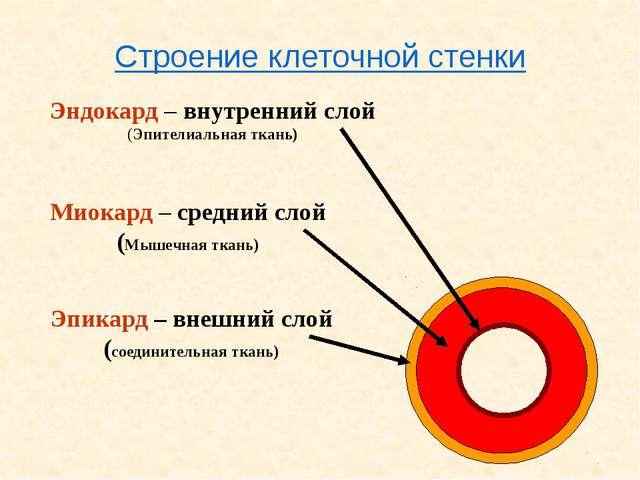 Эндокард – внутренний слой (Эпителиальная ткань) Миокард – средний слой (Мыш...