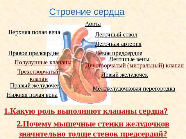 Сердечный цикл Фазы сердечного цикла. Длительность фазы ( сек.) Состояние кл...
