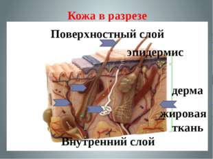 Кожа в разрезе дерма эпидермис жировая ткань Поверхностный слой Внутренний слой
