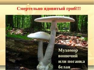 Мухомор вонючий или поганка белая Смертельно ядовитый гриб!!!
