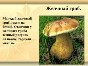 Желчный гриб. Молодой желчный гриб похож на белый. Отличия: у желчного гриба