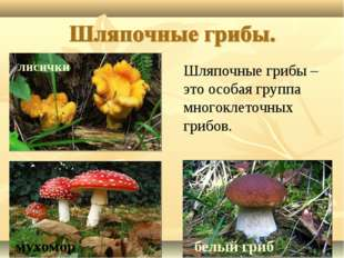 лисички белый гриб мухомор Шляпочные грибы – это особая группа многоклеточных