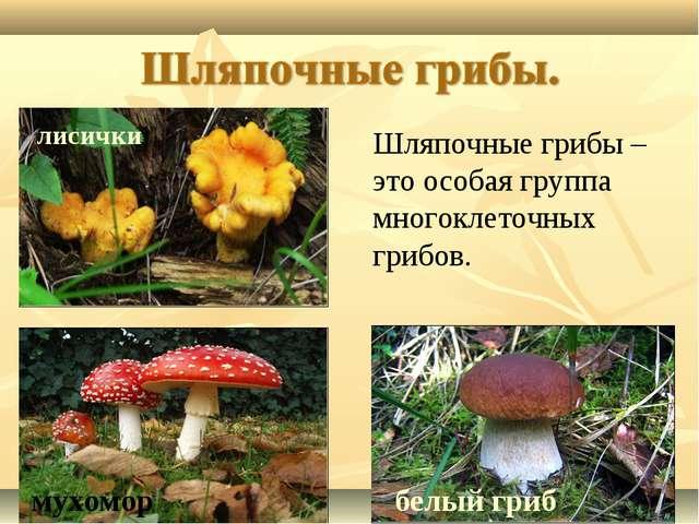 лисички белый гриб мухомор Шляпочные грибы – это особая группа многоклеточных...