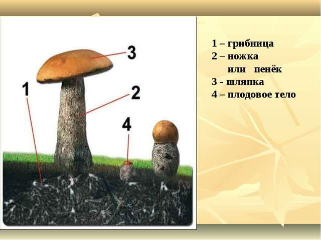 1 – грибница 2 – ножка или пенёк 3 - шляпка 4 – плодовое тело