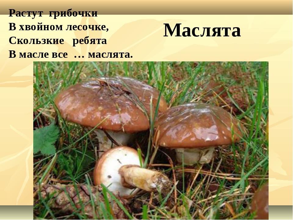 Стоит мальчонка, замаслена шапчонка. Маслёнок. Растут грибочки В хвойном лес...