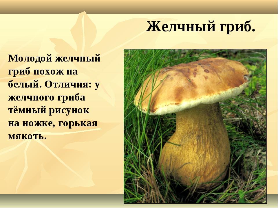 Желчный гриб. Молодой желчный гриб похож на белый. Отличия: у желчного гриба...