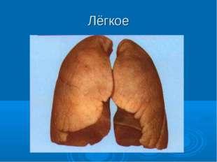 Лёгкое