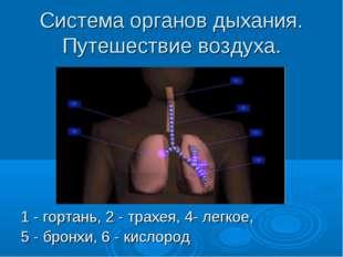 Система органов дыхания. Путешествие воздуха. 1 - гортань, 2 - трахея, 4- лег