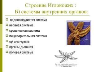 Строение Иглокожих : Б) системы внутренних органов: воднососудистая система