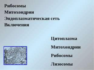 Рибосомы Митохондрии Эндоплазматическая сеть Включения Цитоплазма Митохондрии