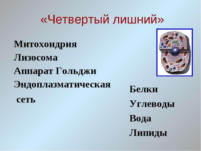 «Четвертый лишний» Митохондрия Лизосома Аппарат Гольджи Эндоплазматическая с...